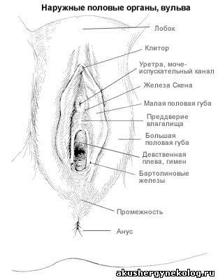 Физиология набухания клитора