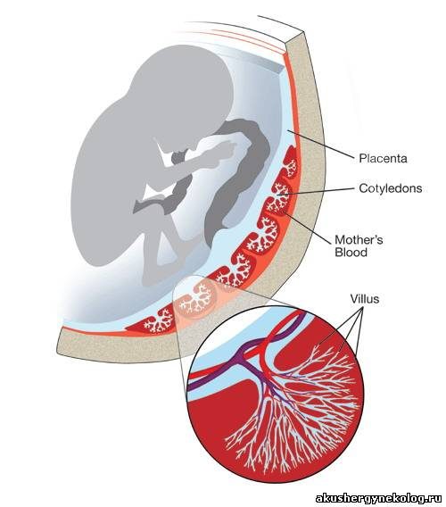 Строение яйцеклетки и сперматозоида. Оплодотворение и стадии внутриутробного развития. Критические периоды онтогенеза